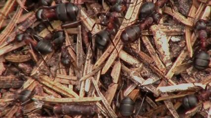 Ameisen, Makro