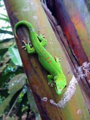 Green Madagascar taggecko on a palm tree