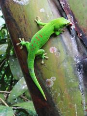 Green Madagascar day gecko on a palm tree