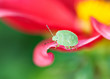 Green shield bug (Palomena prasina) on pink petal