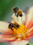 Two honey bees on dahlia flower
