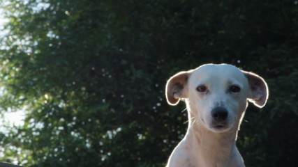 Female white dog with sun light behind.