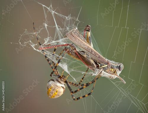 Leinwanddruck Bild Argiope spider wrapping hopper