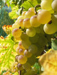Bunch of grapes in a vineyard in Montreux, Switzerland