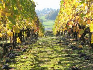 Vineyard in Montreux, Switzerland