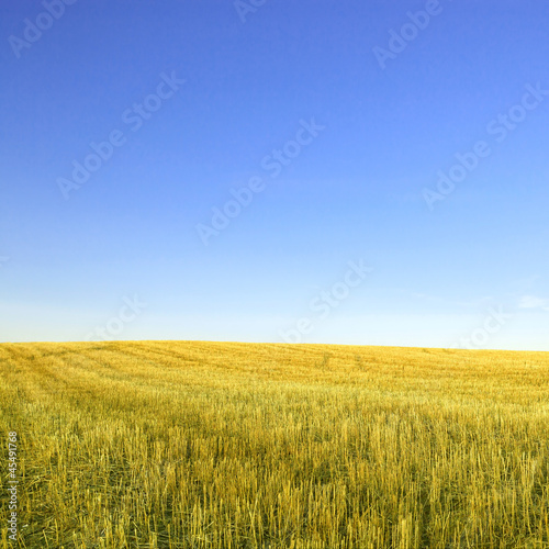 Harvested wheat field and  blue sky