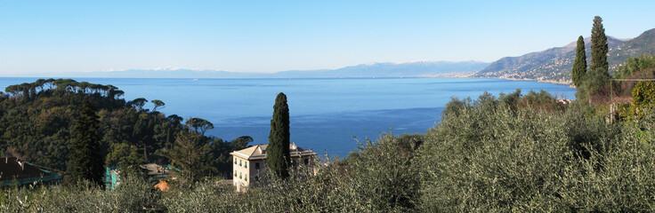 Olive grove at Ligurian coast, Italy. View from Camogli