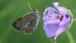"butterfly (Polyommatus icarus) proboscis combing own  ""bangs"""