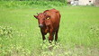 Cow on pasture 4