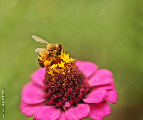 Autumn wild honey bee pollinating pink Zinnia flower