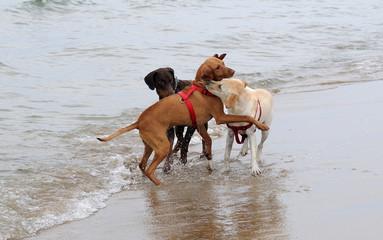 Cani si incontrano sulla spiaggia