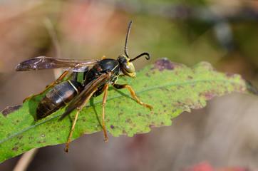 Wasp Resting on a Green Leaf