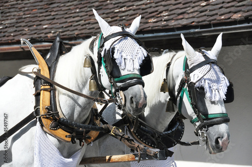 Pair of horses in harness. Switzerland