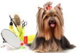 Beautiful yorkshire terrier with grooming items isolated