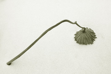 dry lotus leaf in the snow