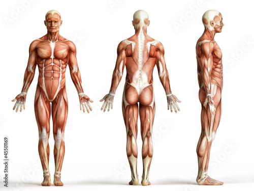 Anatomie, Muskeln