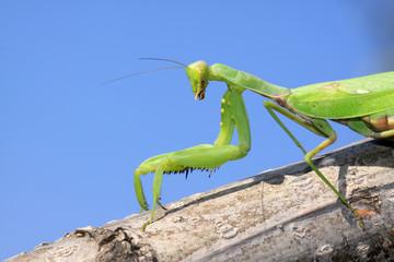 closeup of mantis