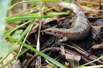 Lizard. Lacerta.