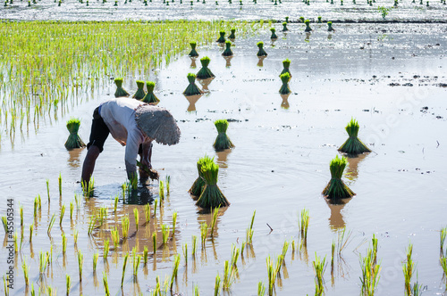 Vietnam womens farmer growing rice on the paddy rice farmland, i