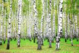 Fototapety September autumn birch grove