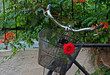 Red rose in basket of old rusty bicycle