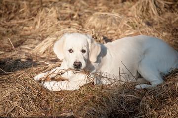 Golden retrieve puppy in spring