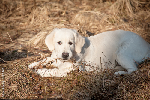 Golden retrieve puppy in spring