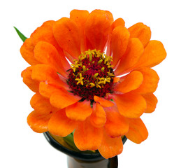 orange zinnia violacea flower isolated on white