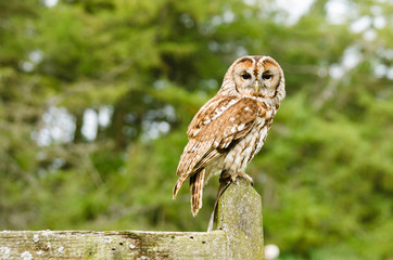 Tawny Owl on fence