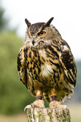Eurasian Eagle Owl on log