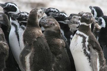 Group of young magellan penguins, Falkland Islands
