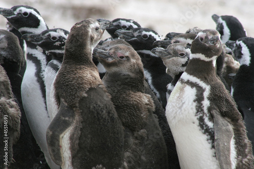 Group of young magellan penguins, Falkland Islands