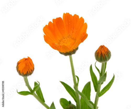 Herb marigold calendula  folk medicine isolated