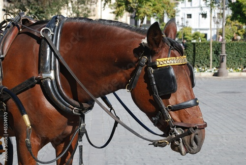 Horse with bridle, Seville, Spain © Arena Photo UK