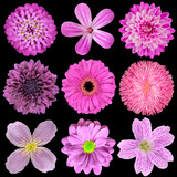 Various Pink, Purple, Red Flowers Isolated on Black Background