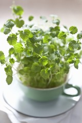 Fresh cress in a cup