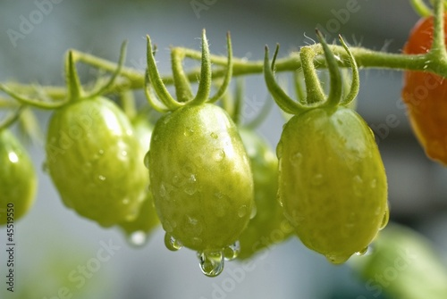 Many Unripe Grape Tomatoes on the Vine; Freshly Watered