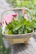 Fresh mint in a wooden basket