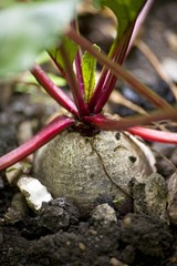 Beetroot in a vegetable patch