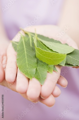 Hands holding bay leaves