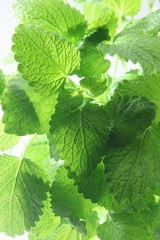 Fresh lemon balm (close-up)