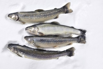 Fresh trout and char