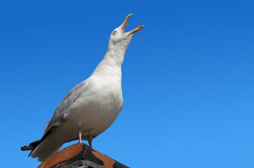 Squawking seagull on rooftop beak wide open.