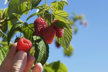 Raspberries being picked