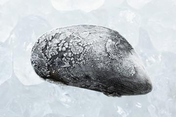 A frozen mussel