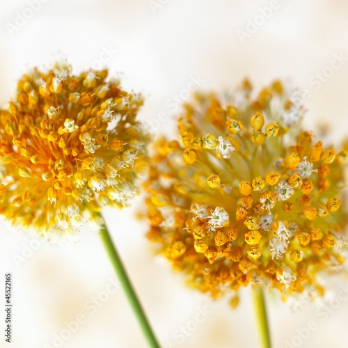 Garlic flowers (close-up)