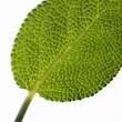 Sage leaf (close-up)