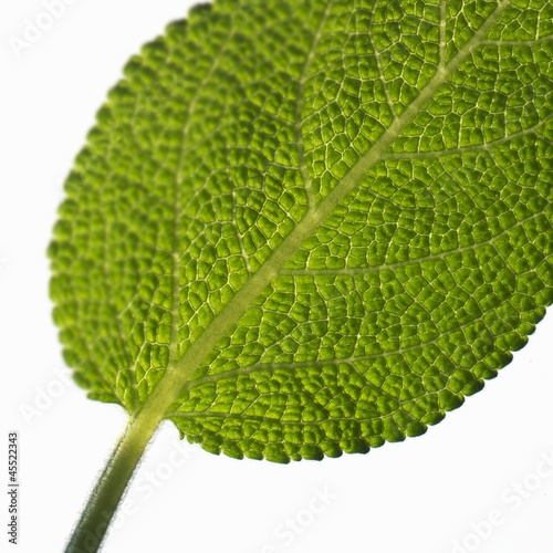 Sage leaf (close-up)