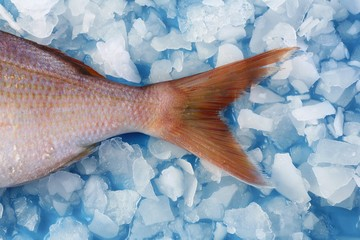 Tail fin of a common pandora on ice