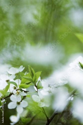 Plum blossom on branch